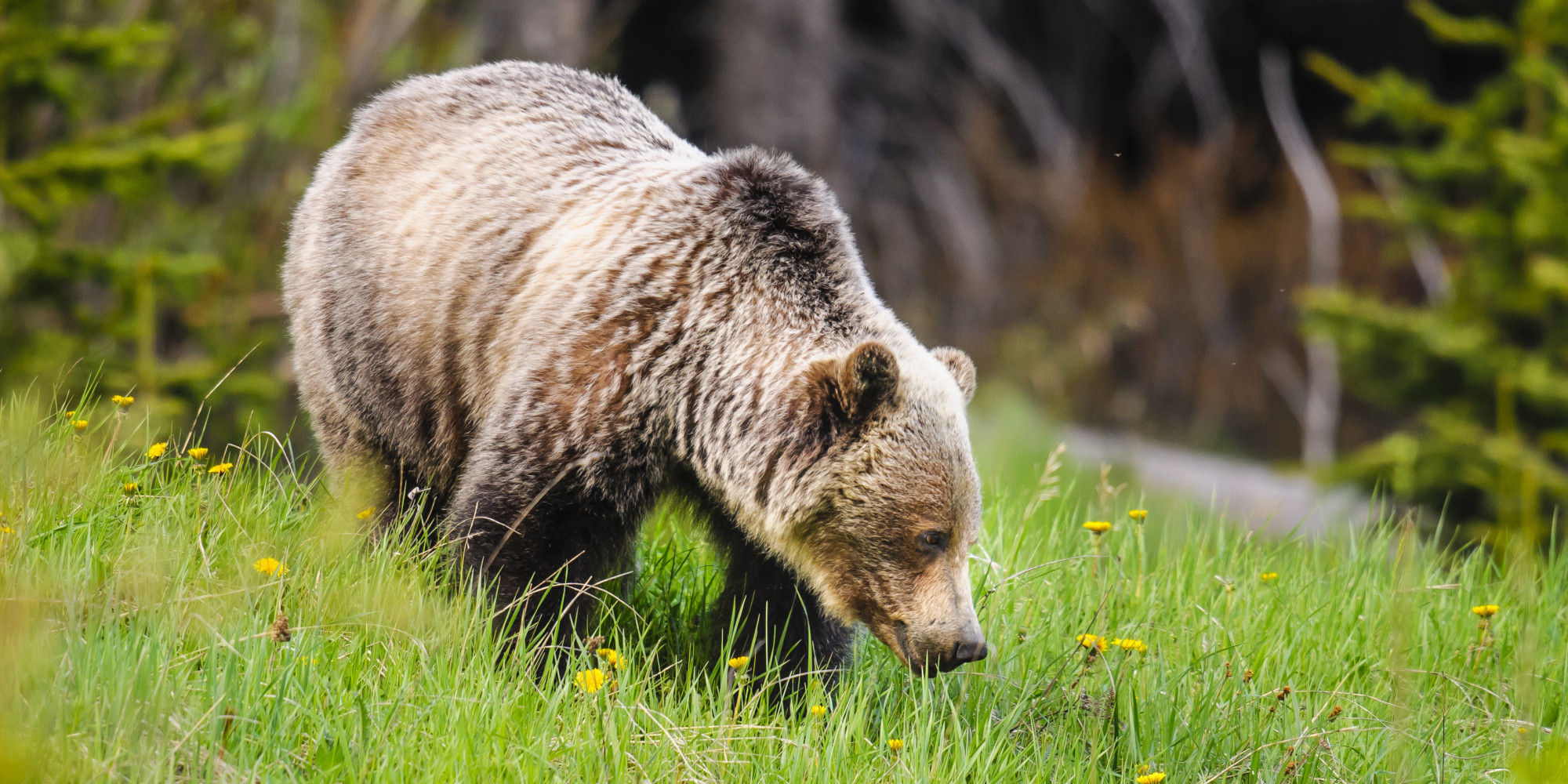 essay on grizzly bears