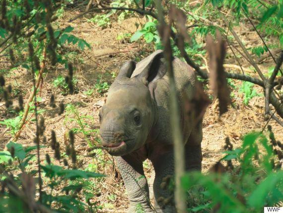 nepalese rhino