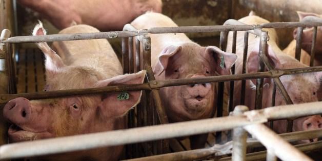 Schweine in einem Stall