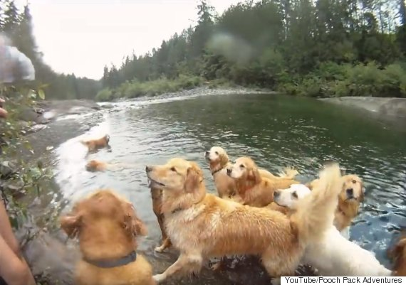 Golden Retrievers Go For A Swim And All Is Right With The