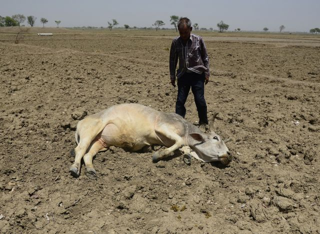 cattle drought india