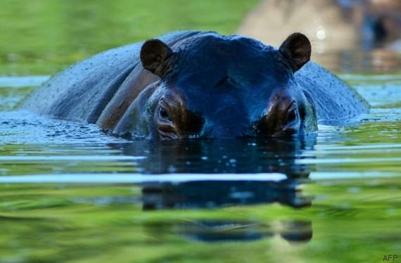 hippopotames escobar
