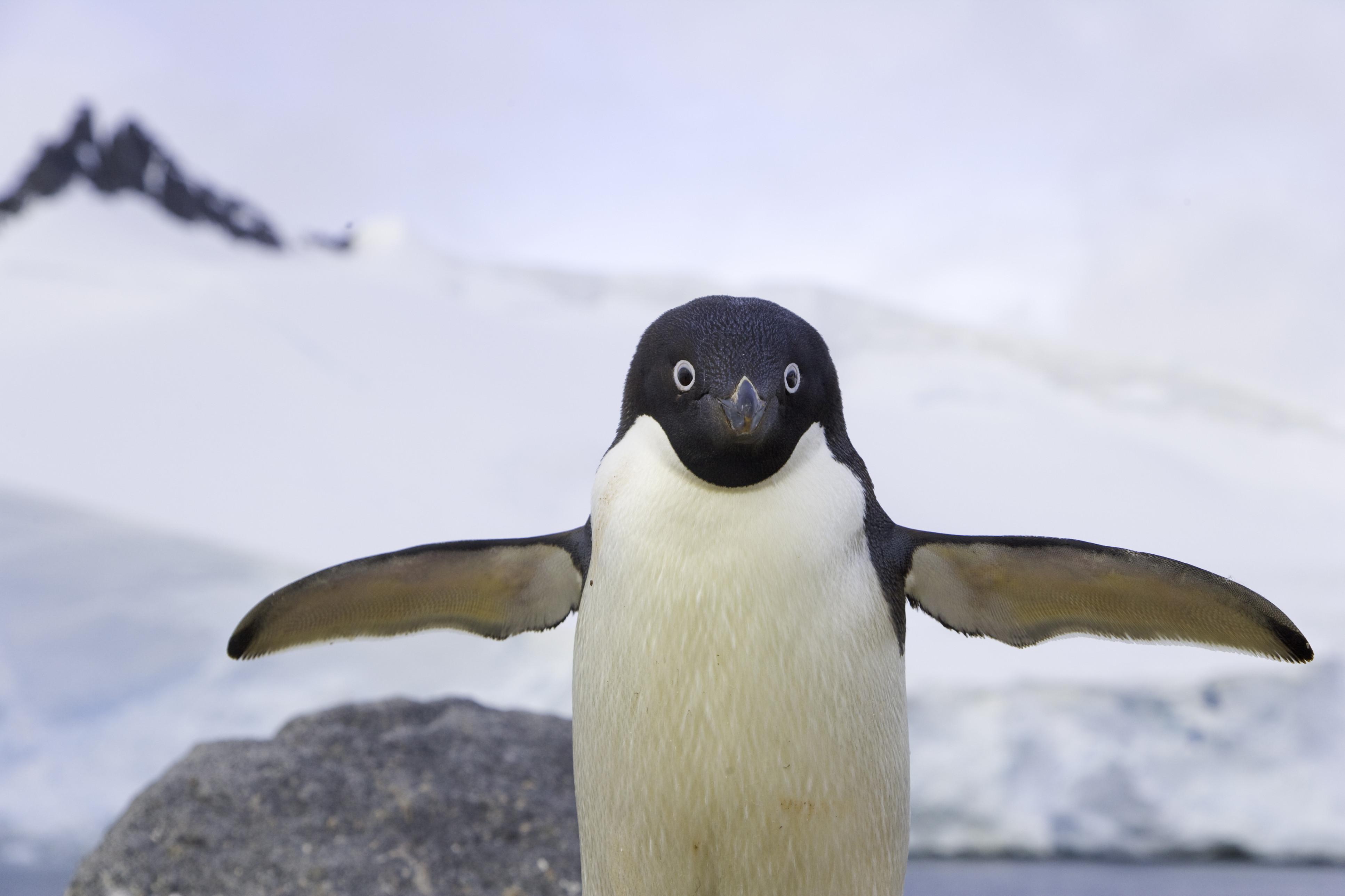 manchot antarctique