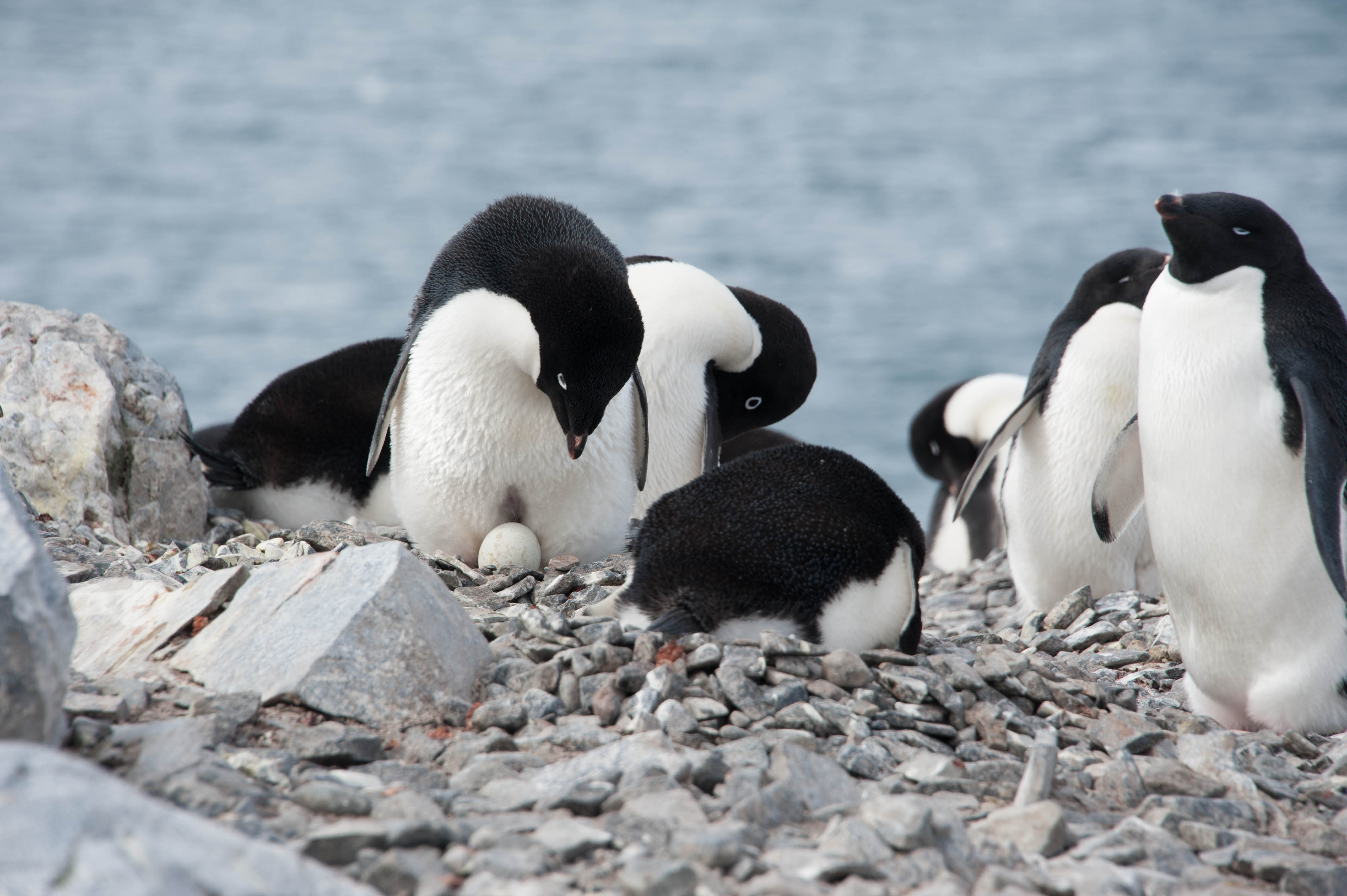 adelie penguin eggs