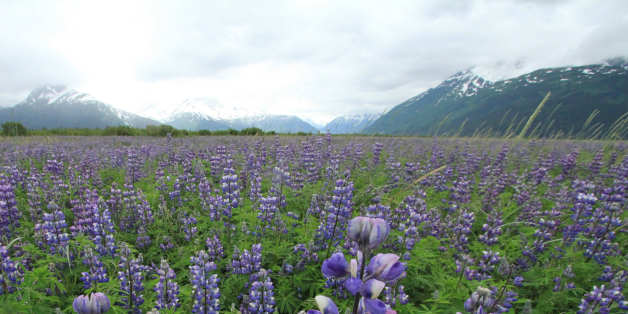 A field of lupine waves in the breeze off Portage Glacier and the Kenai Mountains along Turnagain Arm on Thursday, July 4, 2013, south of Anchorage, Alaska. (AP Photo/Dan Joling)