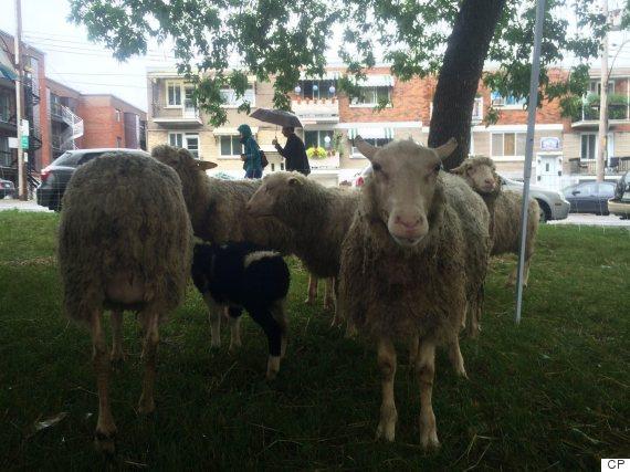 montreal park sheep