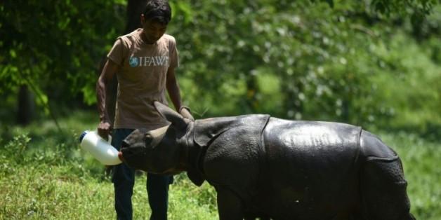 Un rhinocéros nourri à la bouteille le 2 juin 2016 dans le parc national de Kaziranga en Inde