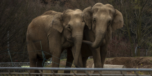 "Baby and Nepal, two elephants suffering from tuberculosis, stand in their enclosure at the Parc de la Tete d'Or Zoo in Lyon, central France, Monday, Jan. 7, 2013. Sex symbol-turned-animal rights activist Brigitte Bardot is threatening to join actor Gerard Depardieu in Russian exile unless France halts the scheduled euthanasia of the two sick elephants. The 1960s screen diva says authorities have ignored her ""numerous proposals"" to save Baby and Nepal, a pair of 42-year-old elephants dying of tub"