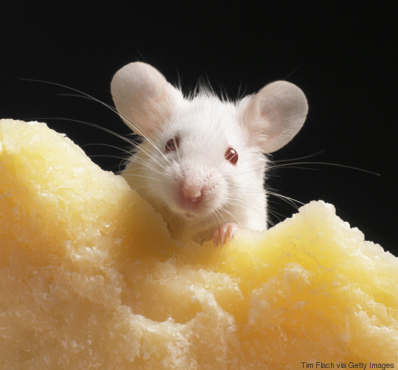 mouse food