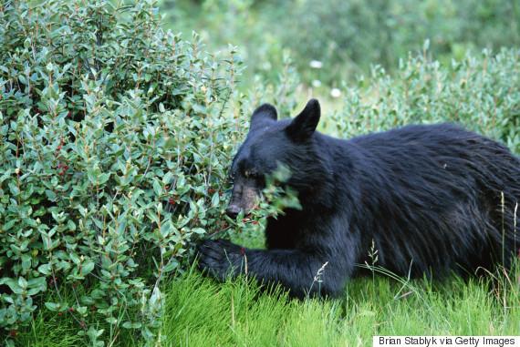 bear berries