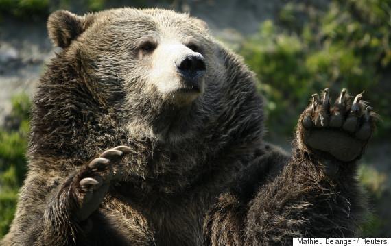 alberta bear