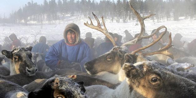 Une épidémie d'anthrax touche des troupeaux de rennes en Sibérie, certainement à cause de la fonte du permafrost (image d'illustration)