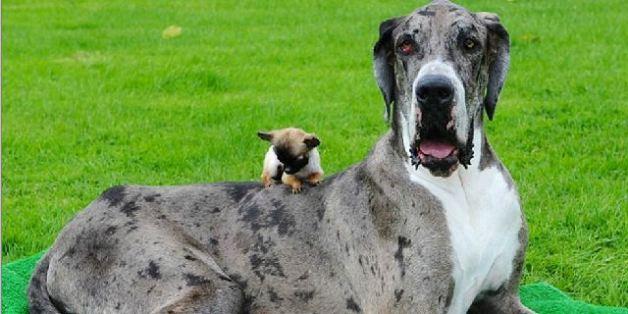 So sieht es aus, wenn sich der größte und der kleinste Hund der Welt treffen
