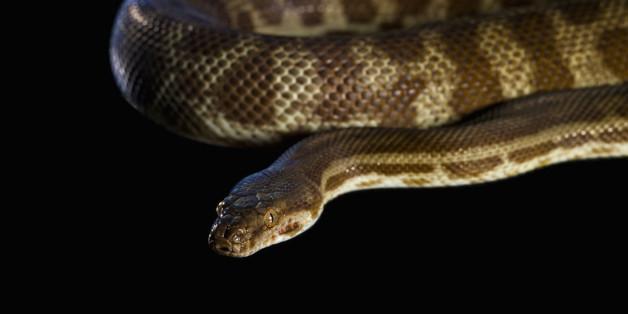 Corn Snake (Elaphe guttata) on a black background
