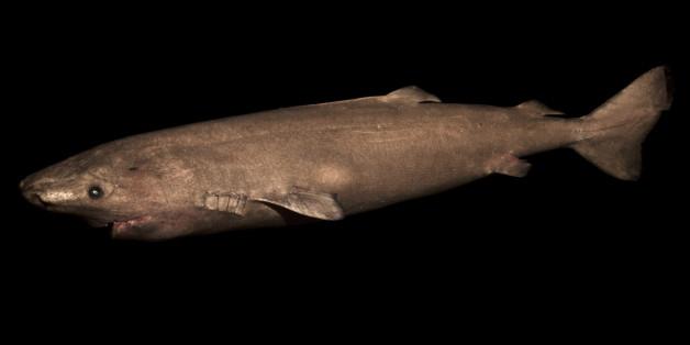 L'animal le plus vieux du monde vertébré est un requin qui peut atteindre les 400 ans.