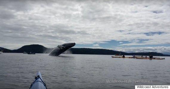 humpback whale kayaker bc