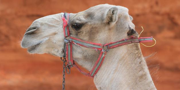 Passage d'un chameau devant la porte du trésor à Petra en Jordanie