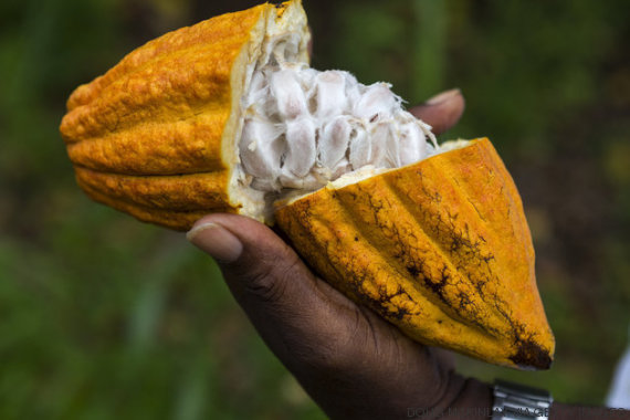 fruto cacao