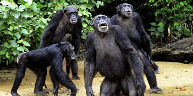 """Des chimpanzés à """"L'île aux singes"""", un refuge au Libéria, le 29 juin 2015"""