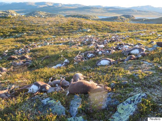 hardangervidda norway reindeer killed