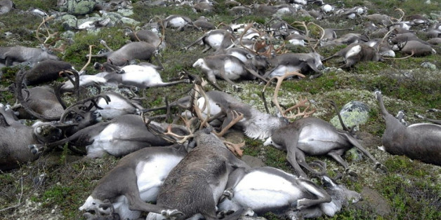In this image made available by the Norwegian  Environment Agency on Monday Aug. 29  2016,  shows some of the wild reindeer that were killed, in Hardangervidda, central Norway on Friday. More than 300 wild reindeer have been killed by lightning in central Norway. The Norwegian Environment Agency has released eerie images showing a jumble of reindeer carcasses scattered across a small area on the Hardangervidda mountain plateau. (Havard Kjotvedt /Norwegian  Environment Agency, NTB scanpix, via AP)
