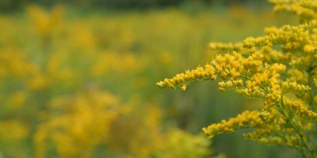 Ambrosia gilt als hoch allergen - und könnte damit die Zahl der Allergiker weiter ansteigen lassen