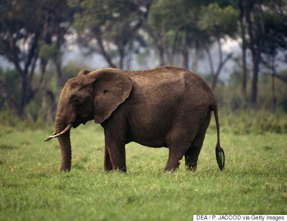 savanna elephant africa