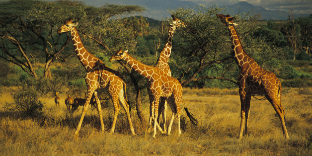 Es gibt mehr als nur eine Giraffen-Art - und deshalb sind die Tiere gefährdeter als gedacht