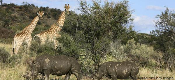 giraffe rhino