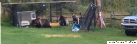 grizzly bears pincher creek