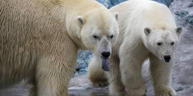 A couple of polar bears, Felix (L), a nine-year-old, and Aurora, a six-year-old, walk inside its enclosure at the Royev Ruchey Zoo in Krasnoyarsk, Siberia, Russia, March 29, 2016. Zoo keepers have allowed the bears to live together hoping that they will mate. Both bears were rescued by people in the Arctic Ocean, and were brought to the Krasnoyarsk zoo. A weak orphaned cub, Felix was delivered to the zoo from a scientific polar station on the Wrangel Island in May 2006. Aurora and her sister, Vi