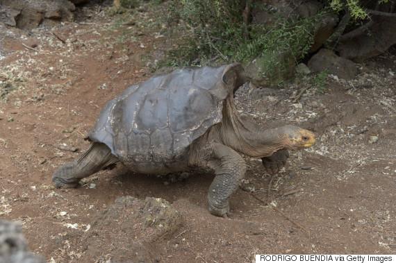 diego tortoise