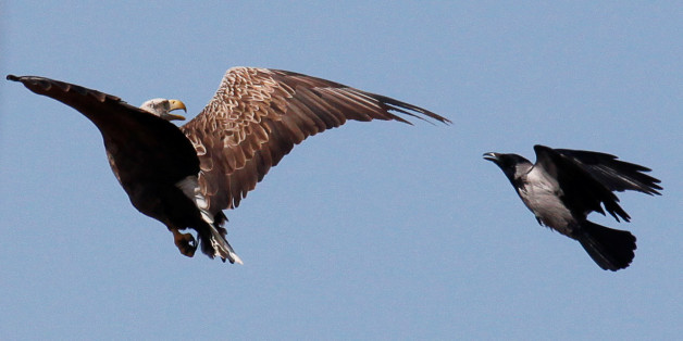 A crow attacks an eagle in an attempt to protect its nest above the Volga river delta, Kazakhstan, April 12, 2016. Picture taken  April 12, 2016. REUTERS/Grigory Dukor