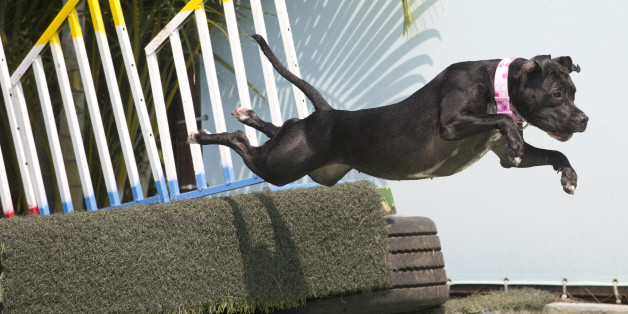 "Dog ""Zaia"" participates in the jumping competition during the Dog Olympic Games in Rio de Janeiro, Brazil, Sunday, Sept. 18, 2016. Owner of the dog park and organizer of the animal event Marco Antonio Toto says his goal is to socialize humans and their pets while celebrating sports. (AP Photo/Silvia Izquierdo)"