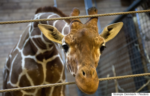 marius the giraffe