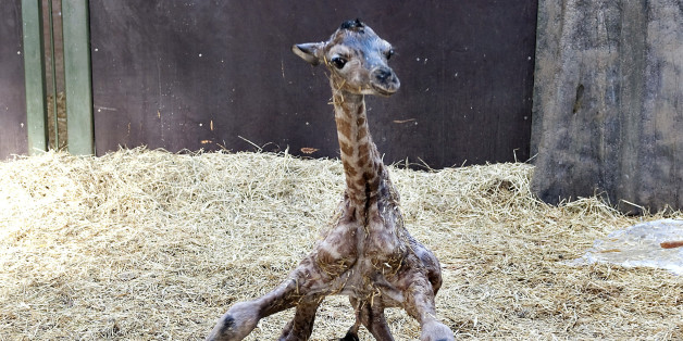 A giraffe foal tries to stand shortly after being born at Aalborg zoo in northern Jutland February 11, 2010. REUTERS/Henning Bagger/Scanpix (DENMARK - Tags: ANIMALS SOCIETY IMAGES OF THE DAY) DENMARK OUT. NO COMMERCIAL OR EDITORIAL SALES IN DENMARK