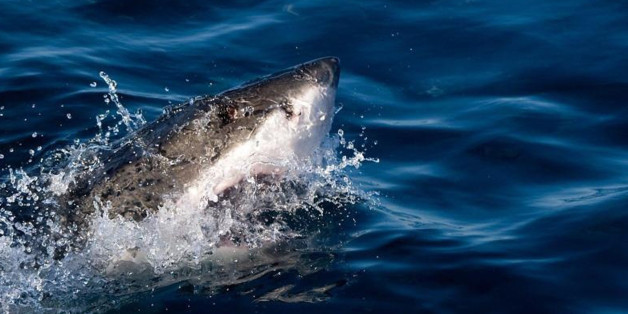 3 Haiattacken am selben Tag: Vor dieser Küste wird es immer gefährlicher