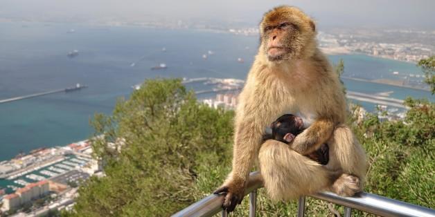 Un macaque de Gibraltar et son bébé