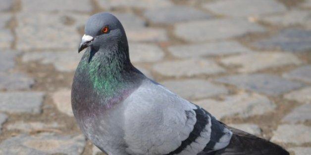 Inde: Un pigeon placé en détention pour transport d'une lettre de menaces