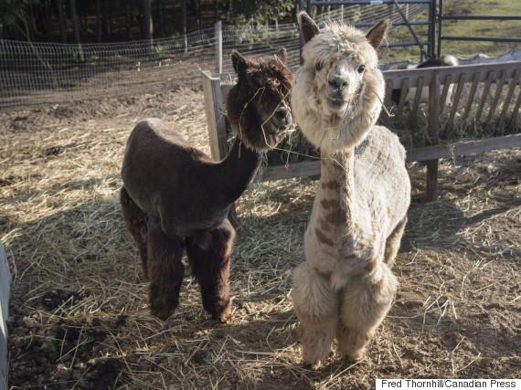 yasmin nakhuda alpacas