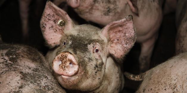 Drei CDU-Politiker sollen Tiere gequält haben. Symbolbild @Peta