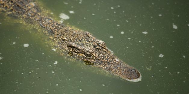 Le fossile d'un petit crocodile de 100 millions d'années retrouvé au Maroc