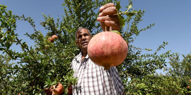 A Tunisian farmer holds a pomegranate on October 15, 2016 during the pomegranate festival in the small town of Testour, located in the north of Tunisia in the Beja province. / AFP / FETHI BELAID        (Photo credit should read FETHI BELAID/AFP/Getty Images)