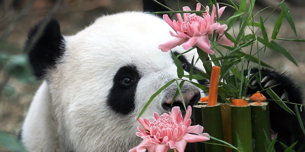 Kai Kai, a male Giant Panda sniffs at his custom-made birthday cake of bamboo, flowers and vegetables, Friday, Sept. 6, 2013, at the River Safari, part of the Wildlife Reserves and the Singapore Zoo in Singapore. Week-long celebrations were held to mark the first year anniversary of the arrival of two Giant Pandas from China, Kai Kai, and Jia Jia, who incidentally are celebrating their 6th and 5th birthdays, respectively this month. These Giant Pandas are on loan for 10-years as part of a collab