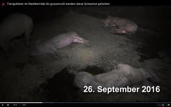 tote schweine