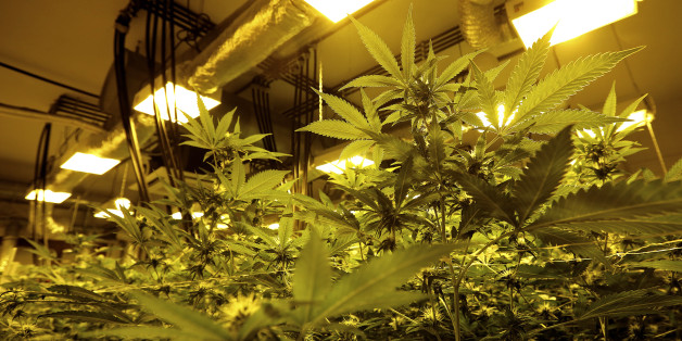 Cannabis plants are pictured in a grow room in a state-owned agricultural farm in Rovigo, about 60 km  (40 miles) from Venice, September 22, 2014. Italy legalised marijuana for medical use last year, but the high cost of buying legal pot in a pharmacy meant few people signed up. Starting next year, a high-security lab in a military compound in Florence will grow cannabis for Italy's health care system in an experiment the government says could bring safe, legal and affordable marijuana to suffer
