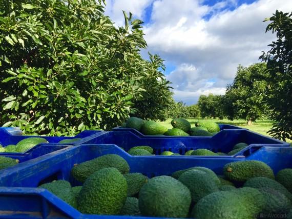 sicilia avocado 3
