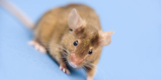Der Nudel-Gigant Vapiano sieht sich zum wiederholten Male mit einer Mäuse-Plage konfrontiert.