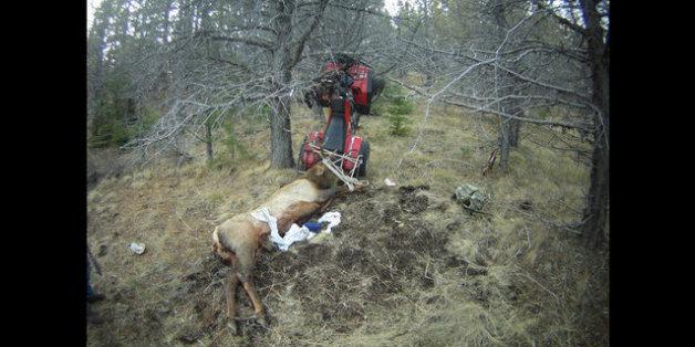 Der Tod dieses Elchs rächte sich für den Jäger sofort