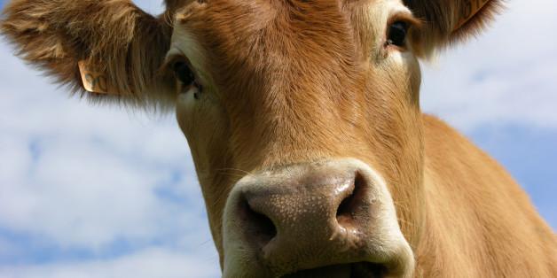 Les rots des vaches polluent moins quand elle mangent du lin